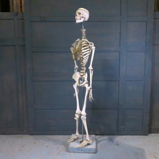 Full Size Adam Rouilly Resin Training Skeleton on Stand